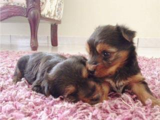 YORKIE Tea Cup pups Text (701) 847-7482.