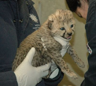 Cheetah, Baby Lions, tiger cubs, Leopard and Fennec foxes for sale