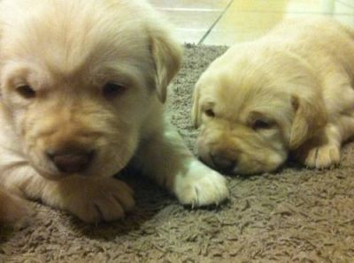 Labrador AKC Puppies, Yellow and Chocolate, Ready for Christmas