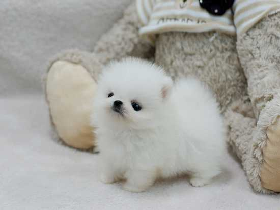Christmas cute teacup Pomeranian puppies available