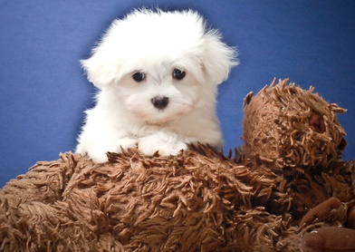 Dfrgrg Beautiful  M/F Maltese PUPPIES FOR sale..
