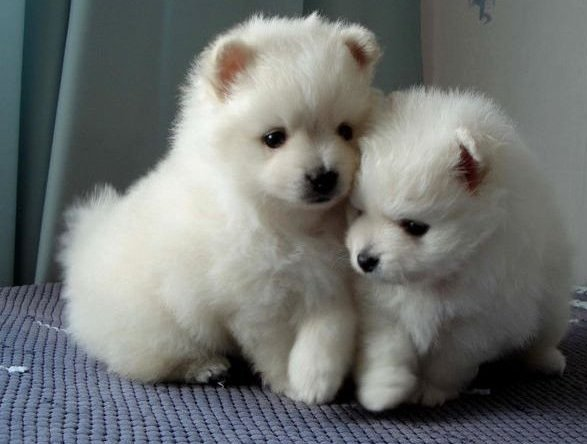 Stunning Pomeranian Puppies for Xmas