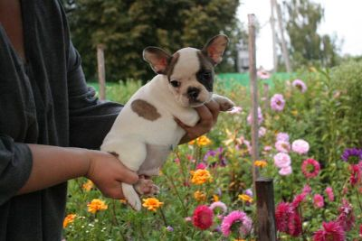 AKC registered French bulldog puppy