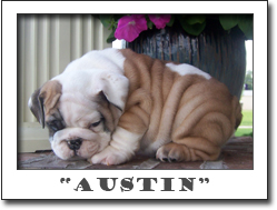 English bulldog puppies for sale ,
