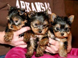 X-MAS WELL TAMED TEACUP YORKIE PUPPIES FOR FREE ADOPTION