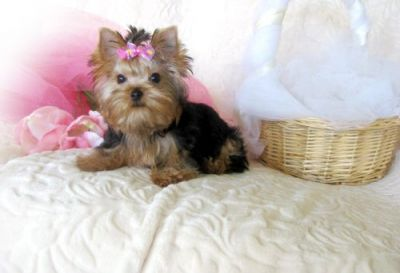 lovely yorkshire terrier puppies for sale