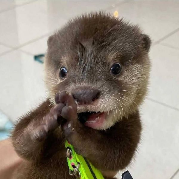 Asian Small Clawed Otters (805) 931-6056