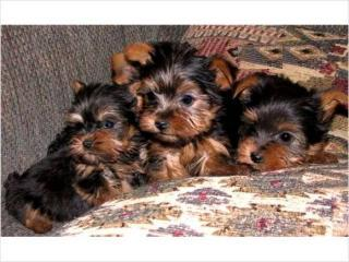 Cute Healthy Teacup Yorkies Puppies For Free Adoption
