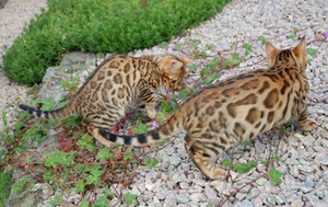 Two Bengal Kittens For Adoption