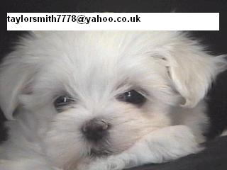 EXTREMELY CUTE MALTESE PUPPIES AVAILABLE FOR ADOPTION