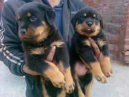 Lovely Rottweiler Puppies for good homes (909) 389-5762