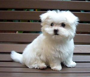 Cute female and Male Maltese puppies for xmas adoption.