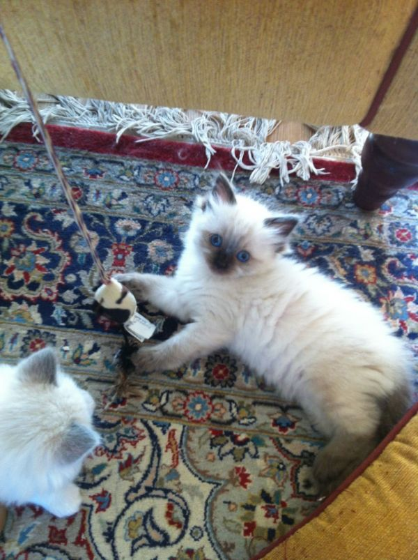 Adorable ragdoll kittens ready now