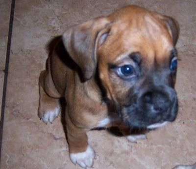 boxer puppies for your home now