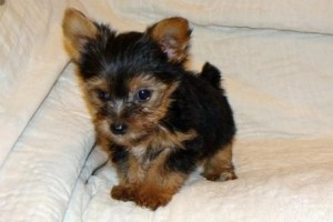 Buy Yorkshire Terrier