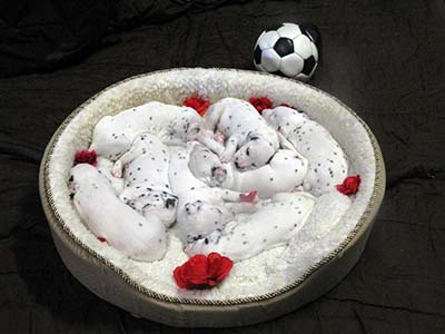 Brilliant Dalmatian puppies ready