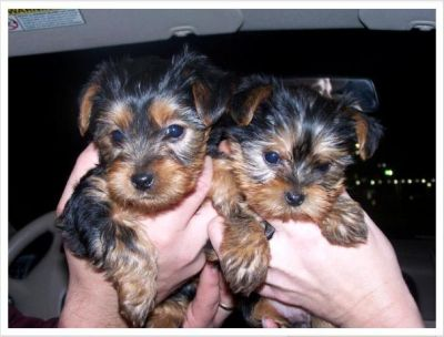 I have Two yorkies  puppies to give it out for adoption