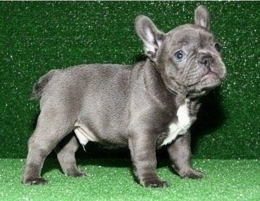 100% Genuine Pure breed Blue French Bulldog puppies