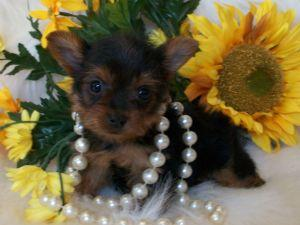 Male And Female Yorkshire Terrier Puppies For sale