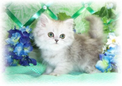 ~Rare Designer Persian Kittens For Christmas~