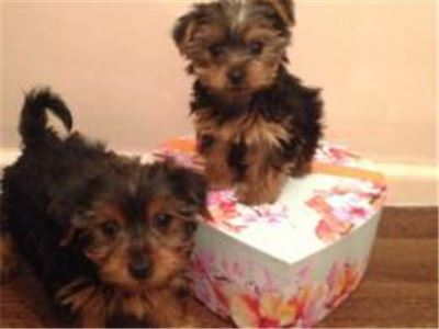Akc Yorkie Puppies Available For Adoption.
