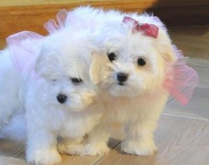 Healthy male and female Teacup maltese Puppies(roses24657@gmail.com)