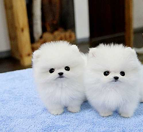 Two Pomeranian Puppies For Adoption 484 265 1106