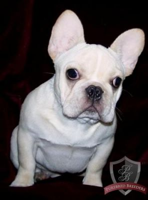 top class AKC registered french bulldog puppiesavailable