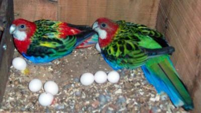 Parrots/fresh Laid Fertile Parrot Eggs.