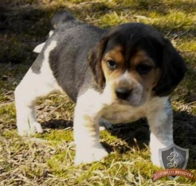 cute and adorable beagle puppies available