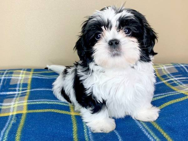 Shih Tzu puppies for Re-homing!
