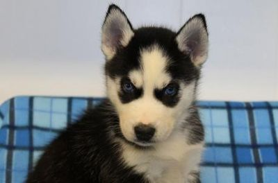 AKC GORGEOUS BLUE EYES SIBERIAN HUSKY PUPS READY NOW (denishakims@gmail.com)