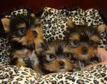 teacup  yorkie puppies for free adoption.