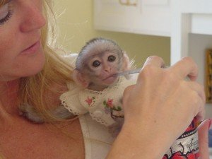 Super cute and potty train capuchin monkeys for X-mas