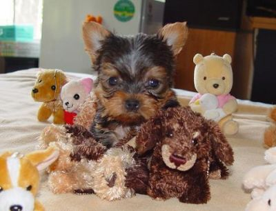 cutr and lovely Yorkie puppies available