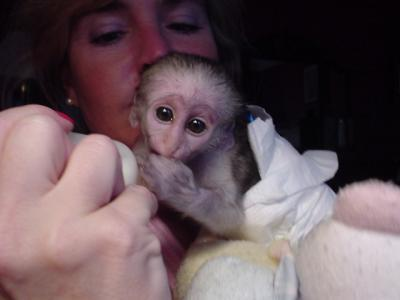 Tamed capuchin monkeys for free adoption