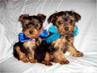 adorable yorkie puppies for adoption...
