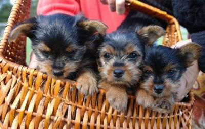 Adorable Tea  Cup Yorkie Puppies For Free Adoption..