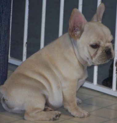 3 months french bulldog puppies for sale