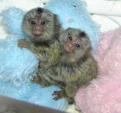 CAPUCHIN, SQUIRREL , SPIDER AND PYGMY MARMOSET MONKEYS AVAILABLE