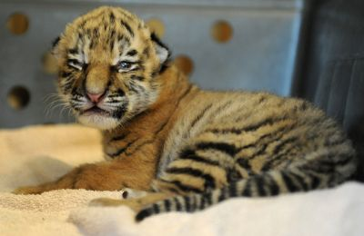 BEAUTIFUL BABY TIGER (TRACY) FOR ADOPTION (lauren_mumria@yahoo.com)