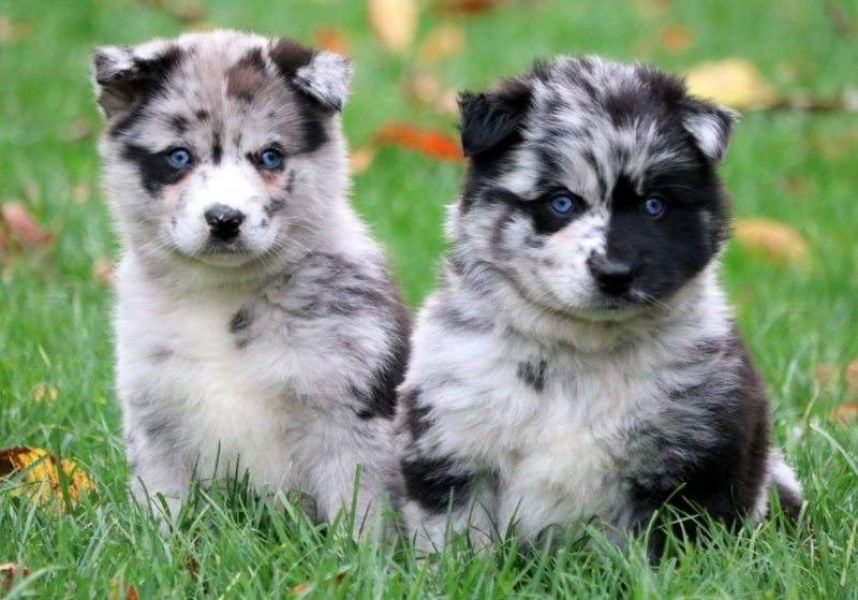 Healthy Pomsky Puppies, Male and Females