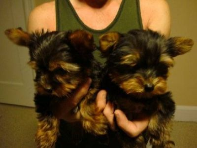 yorkie puppies for free adoption..