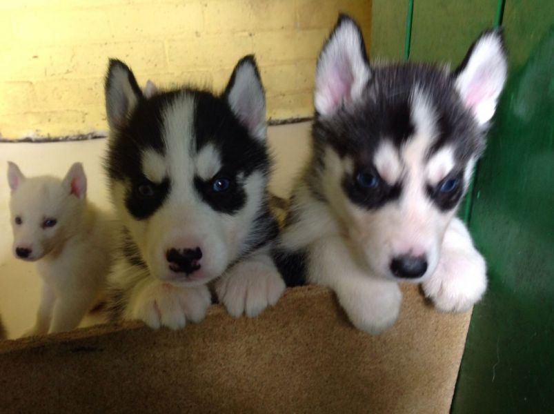 -Pedigree Siberian Husky Puppies