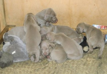 Healthy Weima puppies style trends temperament.