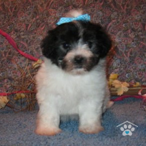 Teacup Havanese Puppies for Sale - OBP