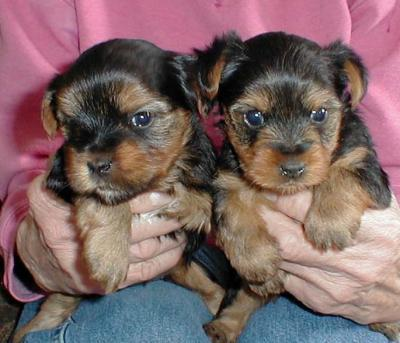 yorkie puppies for free adoption in USA  and Worldwide.....