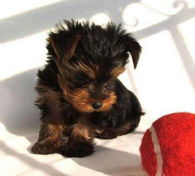 Free Female Teacup Yorkie Puppies For Adoption
