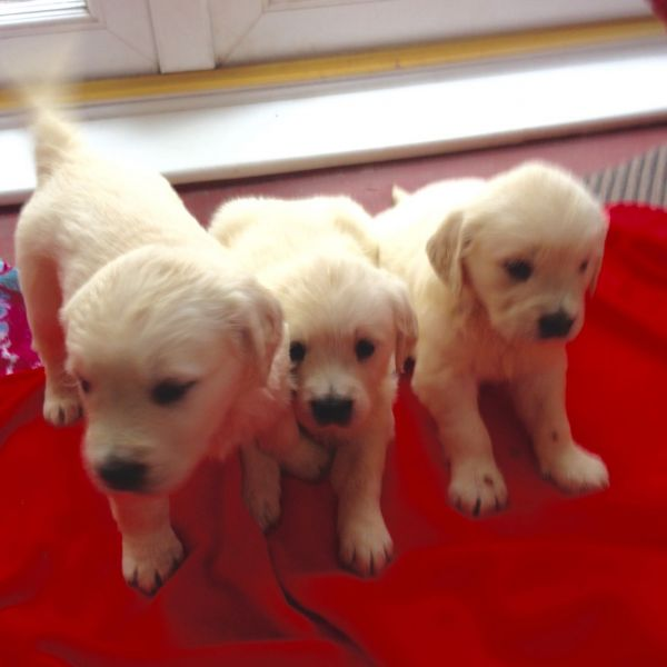 Outstanding Golden Retriever Puppies 12 weeks old looking for a home
