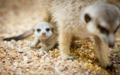 Fennec fox, meerkats and spotted genet available